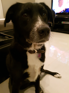 7 yr old Border Collie X Kelpie female - FREE to a good home Maryland Newcastle Area Preview