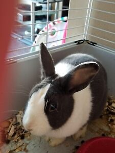 1 Year Old Female Dutch Bunny