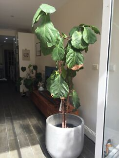 Fiddle Leaf Fig (needs work)