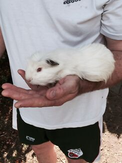 White long hair male guinea pig West Ryde Ryde Area Preview