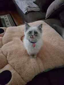 ragdoll kitten Waterford Logan Area Preview