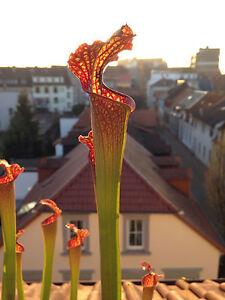 25 Samen einer Sarracenia Hybride winterhart Schlauchpflanze Moorbeet seeds