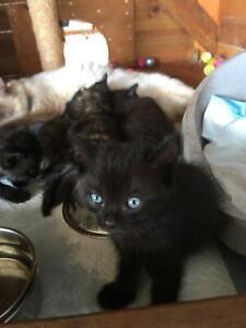 Ragdoll Cross Kittens for sale
