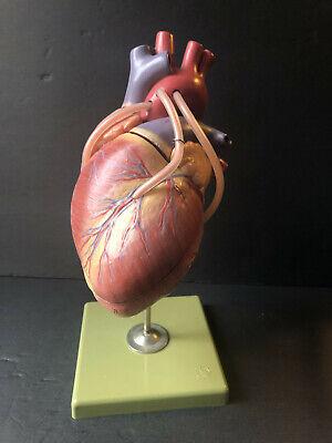 Vintage Somso Anatomical Human Heart Model 1960s Mcm Medical Sculpture
