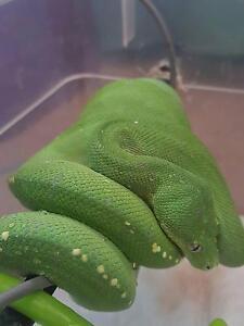Male green tree python Frankston North Frankston Area Preview