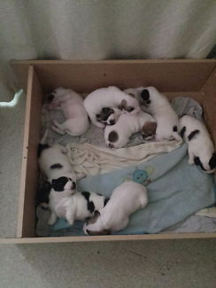 Pit bull terrier x /jack Russell x puppies