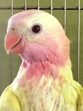 Princess parrot Glenview Caloundra Area Preview
