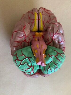 Scientific Human Brain Anatomical Organ Model 8 Parts Cosplay Oddities Education