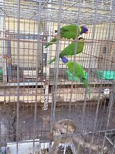 10 rainbow lorikeets for sale Whalan Blacktown Area Preview
