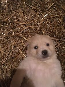 One male Pyrenees/ maremma puppy left