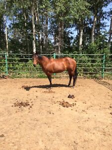 Double registered mare