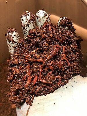100+ Red Wiggler composting worms (Eisenia fetida)- FREE SHIPPING!