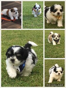 Maltese X Shih Tzu Puppies For Sale Dogs Puppies Gumtree