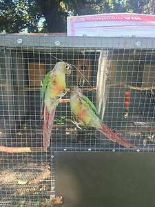 Beautiful Cinnamon conures Nerang Gold Coast West Preview