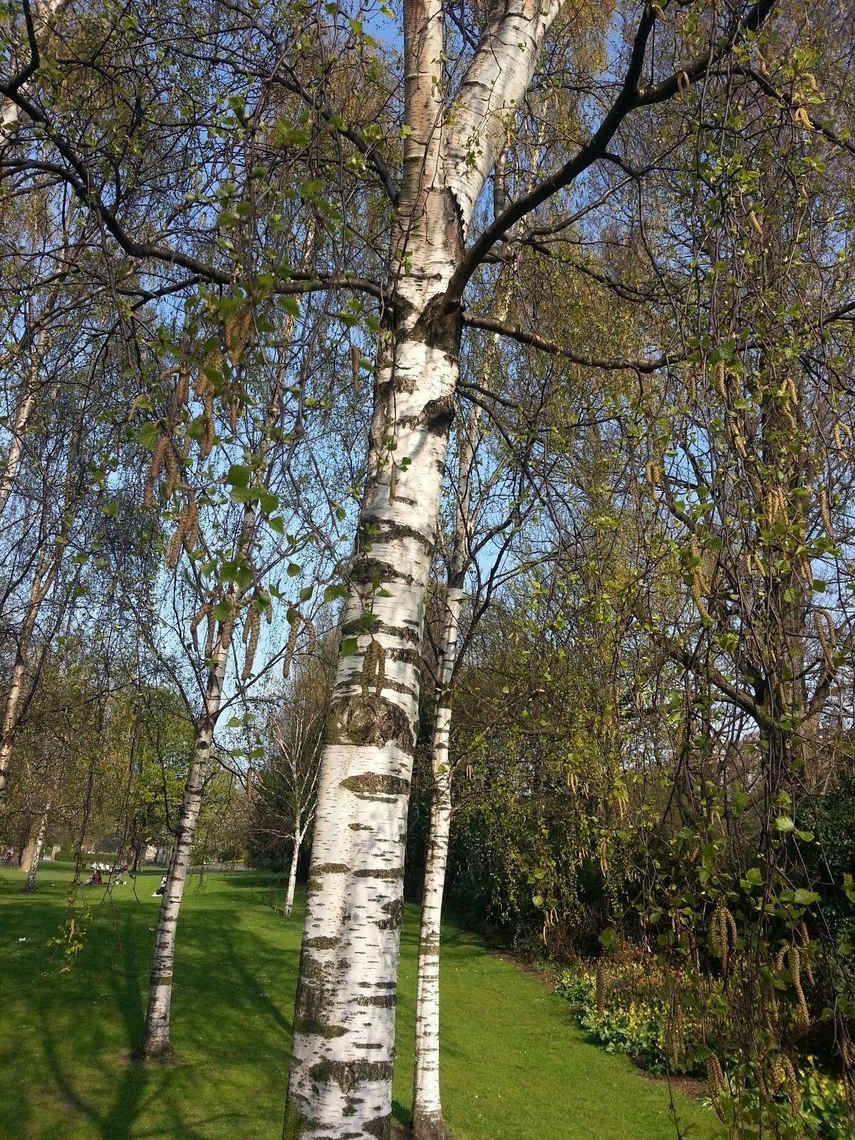 5 Silver Birch Trees 2-3ft,Stunning Winter Colour,Betula Pendula Plants,60-90cm