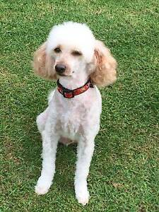 reward offered for a childs pet Ryhope Lake Macquarie Area Preview