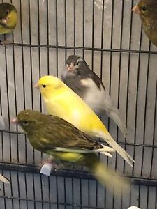 American singer canaries