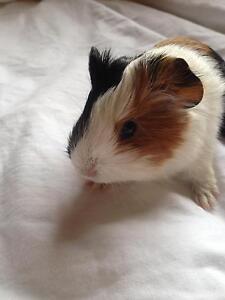 Baby guinea pig Maitland Maitland Area Preview