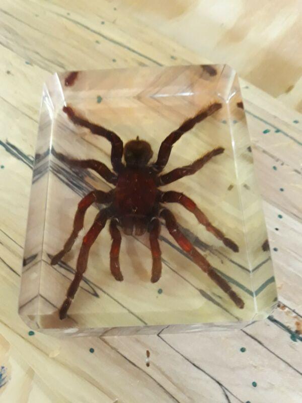Tarantula paperweight