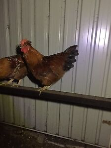 Rooster swap for chickens Kingston Kingborough Area Preview