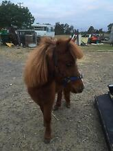 """12 month old filly 36"""" Tocumwal Berrigan Area Preview"""