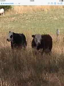 CATTLE FOR SALE Bugle Ranges Mount Barker Area Preview