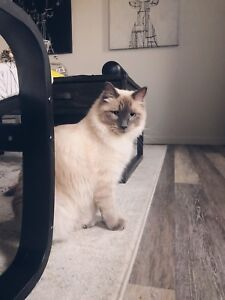 RAG DOLL X SIAMESE LOOKING FOR A NEW HOME