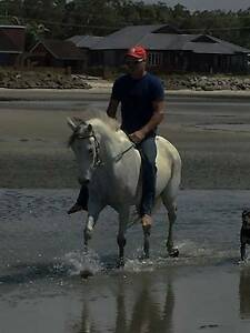 grey gelding Caboolture Caboolture Area Preview