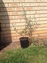 Olive Trees Cessnock Cessnock Area Preview