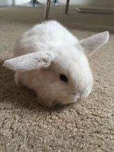 Baby mini lop rabbits for sale, cute bunnies good for children Denistone East Ryde Area Preview