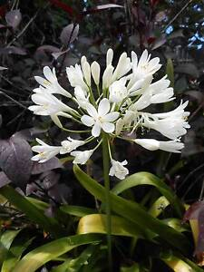 Agapanthus varieties from $5 West Ballina Ballina Area Preview