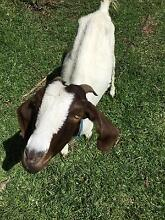 2 goat herds will seperate Cranbourne Casey Area Preview