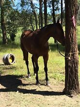 Eventing/showjumping gelding for lease Petrie Pine Rivers Area Preview