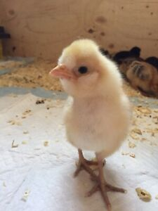 Started chicks— sold straight run out of brooder