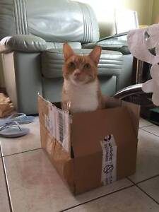 Ginger short hair domestic cat - FREE