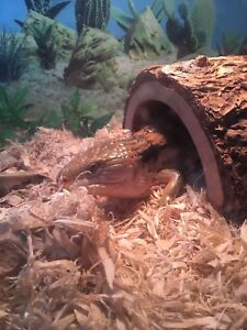 Male blue tongue skink 350$