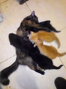Fluffy shorter tailed kittens, x6 Elizabeth Downs Playford Area Preview