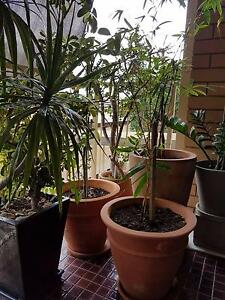 Pot plants - established - $30 each or $350 for the lot. Auchenflower Brisbane North West Preview