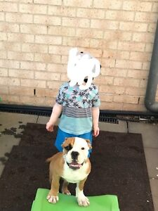 Aussie Bulldog pup