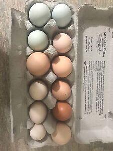 Fertile eggs Rocksberg Caboolture Area Preview