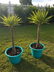 YUCCAS PAIR OF MULTI HEADS