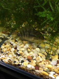 Rainbow cichlid 2-4cm Noble Park Greater Dandenong Preview
