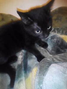 Black female kitten Cabarita Canada Bay Area Preview
