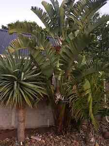 Must see!! Palms and birds of paradise Taylors Lakes Brimbank Area Preview