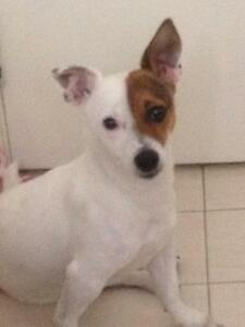 Missing male jack russell Camillo Armadale Area Preview