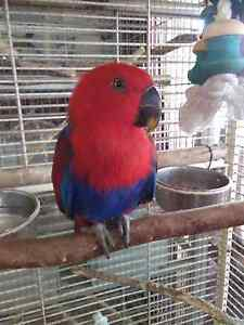 BEAUTIFUL ECLECTUS PARROT Richlands Brisbane South West Preview