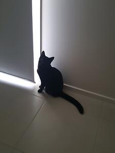 Female cat Maitland Maitland Area Preview