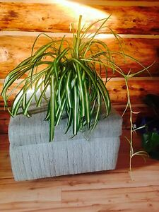 Large Spider Plant in a Green Ceramic Pot