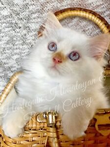 HIMALAYAN KITTENS READY TO GO! Price Reduced