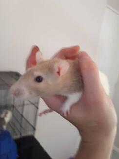 3 young female rats